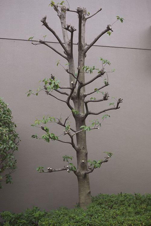 evergreen_niwaki